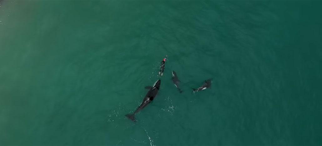 Drone captura imagens impressionantes de orcas cercando nadadora na Nova Zelândia